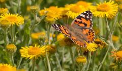 Painted Lady (Alan-Taylor) Tags: butterfly paintedlady insect yorkshirewildlifetrust ywt yorkshire staveleynaturereserve