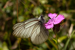 Black-veined white butterfly | To Puy de Niermont-14 (Paul Dykes) Tags: cantal auvergne france countryside campagne landscape paysage massifcentral august 2016 summer hills mountains butterfly butterflies papillon lepidoptera animals insects insecta animalia aporiacrataegi blackveinedwhite gazé piéridedelaubépine