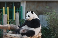 Feng Yi (/) aka Liang Liang 2016-06-16 (kuromimi64) Tags: zoonegara malaysia   zoo nationalzoo zoonegaramalaysia kualalumpur  bear   panda giantpanda     fengyi  liangliang