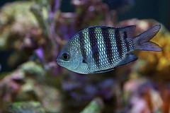 Africano (dotcomdotbr) Tags: peixe sony a77 sal1650 aqurio sao paulo sopaulo coral