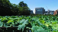 #8833 lotus pond () (Nemo's great uncle) Tags:    nelumbonaceae  lotus nelumbonucifera nelumbo nucifera flora flower  shinobazu  shinobazupond ueno  taitku  tky