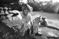 Macaques | Angkor Wat | Cambodia (RileyTaylorPhoto.com) Tags: animal temple monkey asia cambodia large angkorwat wildanimal siemreap angkor macaques wonderoftheworld wildmonkey