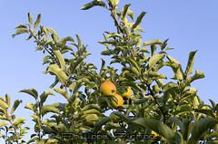 Cueillette pommes BIO la Chebuette Loire Atlantique (Philippe Pichon) Tags: france fruit plante arbre pomme loireatlantique lachebuette cueillettepommesbio