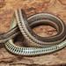 Lined Snake