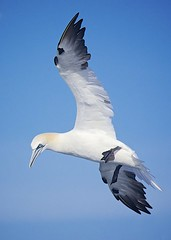 Blue Northern (Feathered Trail Photos) Tags: pelagic mfcc jerseybirds avianexcellence northerngannett mynj