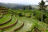 Jatiluwih rice terrace 2 (bob.ukiah) Tags: trees bali food green nature field grass canon indonesia landscape rice paddy terrace farming palm unesco crop growing agriculture pulse staple ubud eosm subak jatiluwah