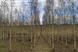 Halley Trees
