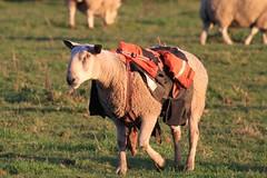 Ram in a jacket. (Bathgate Wildlife) Tags: west scotland sheep farm wildlife jacket law lothian bathgate reyssie