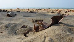 Leaf on a beach. (jasonkaykl) Tags: macro beach canon leaf sand a480