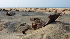 Leaf on a beach. (jasonkaykl) Tags: macro beach canon leaf sand a480