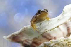 Little frog :) (mikroman6) Tags: blue macro nature closeup garden shell frog
