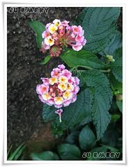 Florzinhas (Ju Emery) Tags: pink flowers plant flores flower cute planta yellow backyard natureza flor rosa amarelo jardim florzinha littleflower florzinhas