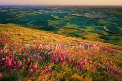 Palouse Pastel Portrait (Ryan McGinty) Tags: statepark sunset green film landscape washington spring pastel scenic moose wildflowers polarizer lupine hoya wheatfields palouse velvia50 contaxg2 whitmancounty g28 steptoebutte ncps ryanmcginty