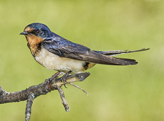 Barn Swallow (mapleleaf16-11-56) Tags: ocean city bridge trees sunset sky snow ontario canada hot reflection fall ice beach nature beautiful robin sunshine birds fog female clouds barn docks fence landscape landscapes boat log woodpecker rocks hummingbird nest cardinal florida country barns scenic parks bluejay finch chickadee swallow muskoka boathouse northern housefinch purplefinch leacock lay orillia baltimoreoriole treeswallow beautifulhotbirds