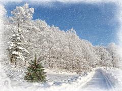 Merry Christmas, ¡Feliz Navidad!, Wesołych Świąt, God Jul, Buon Natale,Frohe Weihnachten. (Bessula) Tags: winter white snow tree nature season holidays frost sweden path christmastree wishes jul snö swieta bessula