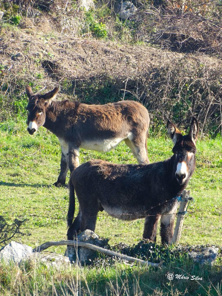 Águas Frias (Chaves) - ...o burro e a burra ... (em vias de extinção - coisa de burros!!!) ...
