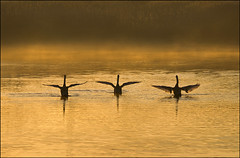 Synchronized Swimming (adrians_art) Tags: morning flowers winter light red orange plants white black nature water weather birds yellow misty sunrise reflections reeds dark landscape gold dawn golden amber movement frost mood moody shadows arms wildlife flight feathers foggy silhouettes vivid atmosphere rivers wetlands ripples limbs waterfowl riverbank wingspan marshland hightide muteswans waterscape synchronizedswimming wungs