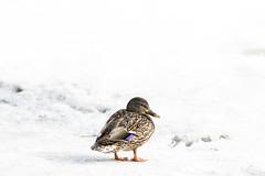 (maximebergeron_photos) Tags: winter snow bird duck alone qubec canard domainemaizerets