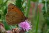 20150111-PICT1303 klein.jpg (henk.wallays) Tags: macro nature closeup butterfly insect wildlife butterflies natuur lepidoptera papillon falter mariposa insekt arthropoda insecte sommerfugl aaaa schmetterlinge vlinders vlinder insecta nymphalidae πεταλούδα lepidoptere tagfalter dagvlinder edelfalter henkwallays матылі skubvlerkiges лускакрылыя тәңкәҡанатлылар күбәләктәр ô·tia̍p дневнитепеперуди nymphalidaespecies