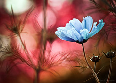 In a dream ... (Lilian Thoumire Photography) Tags: blue red flower macro nature fleur colors photography photo nikon natural bokeh couleurs nikkor youngphotographer 55300 d3300 jeunephotographe lilianthoumirephotography