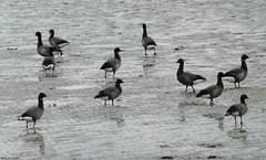 Mudflats with Brant geese (Geminiature Nature+Landscape Photography Mallorca) Tags: birds terschelling de mud vogels aves goose flats brent wad mudflats brant marea branta llanura rotgans bernicla barnacla carinegra