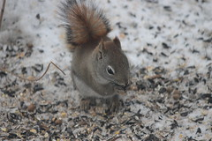 Juvenile Red Squirrel at Birdfeeders (Saline, Michigan) - March 1, 2015 (cseeman) Tags: winter squirrel michigan birdfeeder feeder seeds perch hungry saline redsquirrel redsquirrel03012015