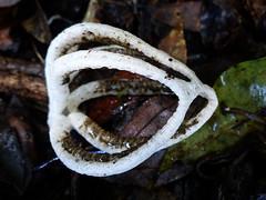 Anthurus brownii (VanessaRyan) Tags: nature australia fungus queensland mainrangenationalpark goomburra mtcastlelookout phallaceae anthurus arfp geo:country=australia arffungi qrfp whitearffungi subtropicalarf stinkhornarffungi basidiomycetesarffungi geo:lat=27967500 geo:long=152382500 taxonomy:binomial=anthurusbrownii anthurusbrownii