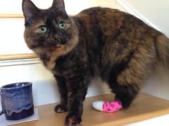 Maple with her bandaged paw (summerdressgirl) Tags: cat injury cast bandage
