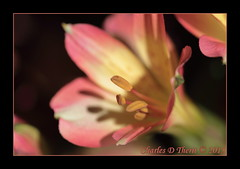 Valentine Alstroemeria (ctofcsco) Tags: 1320 180mm 35 7d alstroemeria alstroemeriaceae bokeh canon colorado coloradosprings ef180mm ef180mmf35lmacrousm eos7d explore explored flower gleneyrie green happyvelentinesday lilyoftheincas macro nature northamerica orange peruvianlily pink red telephoto unitedstates usa valentinesday wildlife yellow 7dmark1 f35 2015 topawardersl1 best wonderful perfect fabulous great photo pic picture image photograph