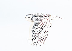 Snowy Flight -white sky (petertrull) Tags: