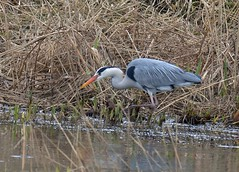 Move & Make my Day (Dave Brotherton Wildlife Photography) Tags: winter bird nature water birds animals outdoors countryside nikon wildlife ngc lakes feather rivers tamron avian waterbirds outabout plumage greyheron wader d3200 winterwatch tamron150600