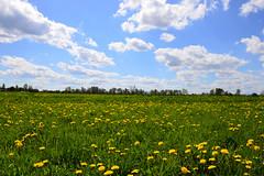 Spring Meadow (david.skobel) Tags: flowers sky green grass clouds landscape countryside spring meadow poland paysage pologne wiosna mlecz krajobraz wie mniszek lekarski