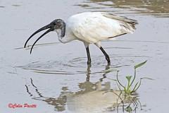 black-headed ibis (threskiornis melanocephalus)2 (Colin Pacitti) Tags: ngc blackheadedibis threskiornismelanocephalus supershot specanimal eiap fantasticwildlife birdperfect hennysanimals