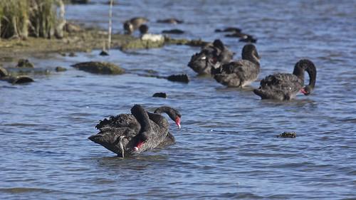 Five swans a preening.