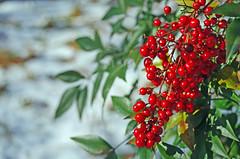 Nandina (Fiddling Bob) Tags: winter red berries snowy bamboo heavenly nandina heavenlybamboo