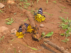 Butterflies of Laos