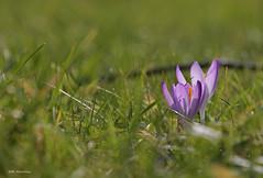 frher Frhlingsbote (svensonkra26) Tags: wiese violett krokuss winterende frhling