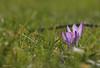 früher Frühlingsbote (svensonkra26) Tags: wiese violett krokuss winterende frhling
