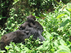 Gorilla Piggyback Ride