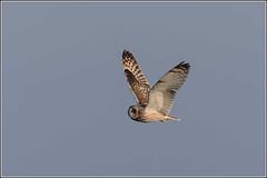 Short Eared Owl (Smudge 9000) Tags: uk winter england unitedkingdom wildlife raptor owl birdsofprey scrape bids 2015 sandwichbay shorteared restharrow