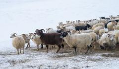 DSC01490 (ekremenak) Tags: photo iceland sheep 1502 150212