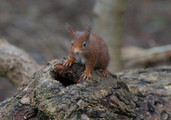 Red Squirrel (Col-Page) Tags: red nikon squirrel 300mm f28 d800 formby lancs vr11