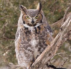 GREAT HORNED OWL (Gini1996) Tags: birds mom arboretum owls