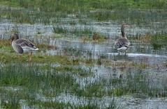 Kranenburger Bruch - Greylag Geese (joeke pieters) Tags: bird nature wet geese wildlife ngc nat goose gans ganzen vogel wetland greylag kranenburgerbruch panasonicdmcfz150 1200585