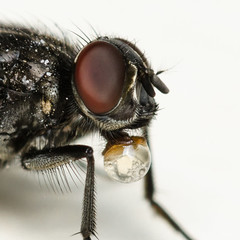 Drinking Fly (Fab Boone Photo) Tags: fly macro mouche eye close closeup up fabienboone fabboone