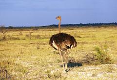 Ostrich in Etosha National Park, Namibia (Global Environment Facility (GEF)) Tags: namibia etosha wildlife protectedarea photobypatriziacoccagef biodiversity conservation desert semiarid nature