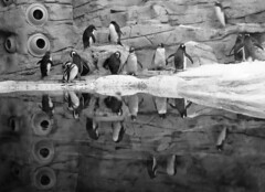 Pinguinos en la Costa el Sol - EXPLORER 3-3-14 (Nati Almao1) Tags: benalmadena ipinguinos