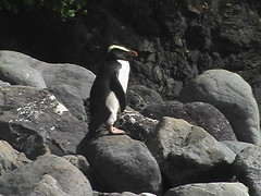 A Fiordland Crested Penguin on the Rock