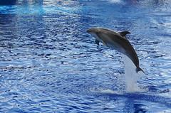 meet the dolphin () Tags: animal dolphin taiwan  mammals   attraction  hualian   fargloryoceanpark