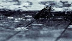 Der Regen versucht immer noch, die Blumen von letzten Sommer zu reanimieren. (Manuela Salzinger) Tags: morning winter rain drop morgen regen raindrop tropfen regentropfen